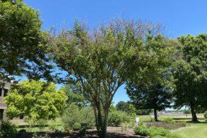 Picture of crepe myrtle plants