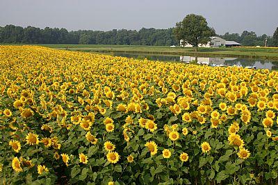 Sunflowers growing in field